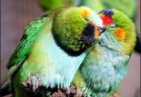 Western Australian parrots all loved up!